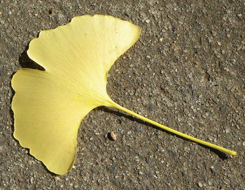Inspiration photo of a gingko leaf | Photo courtesy of the artist